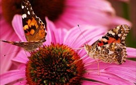 Two butterflies, one pink flower