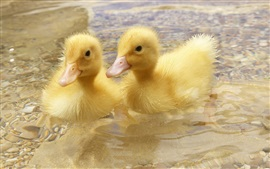 Preview wallpaper Two ducklings