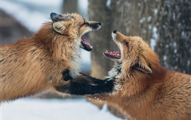 Two foxes playful