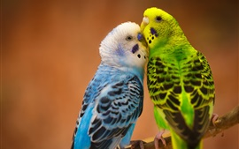 Two parrots, blue and green feathers