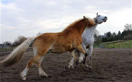 White and brown horses playful