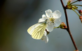 White cherry flowers and butterfly