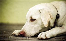 Preview wallpaper White dog rest, head, paws