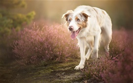 Preview wallpaper White dog walk in the flowers field