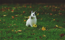 Preview wallpaper White rabbit, apple, green grass, leaves