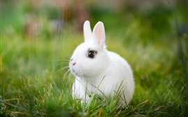 Preview wallpaper White rabbit, grass