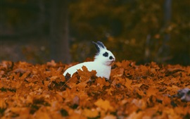 Coelho branco no outono, folhagem amarela
