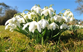 Preview wallpaper White snowdrops flowers, grass