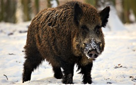 Preview wallpaper Wild boar, fangs, winter, snow