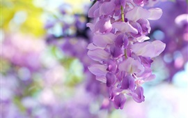 Preview wallpaper Wisteria flowers, light purple
