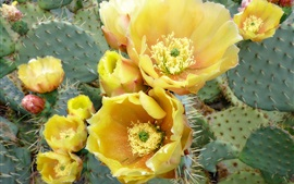 Preview wallpaper Yellow cactus flowers, thorns
