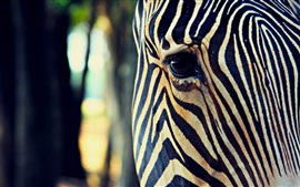 Zebra head close-up, eye