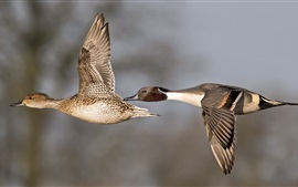 Preview wallpaper A pair ducks flying