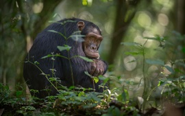 Preview wallpaper Africa, chimpanzees, trees, southern Uganda, Kibale national Park
