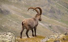 Preview wallpaper Alpine ibex rear view, horns