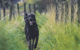 Preview wallpaper Black dog running, tongue, grass