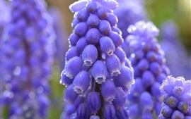 Preview wallpaper Blue grape hyacinth close-up, water drops