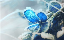 Preview wallpaper Blue hydrangea flower, frost