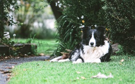 Preview wallpaper Border collie dog rest under tree