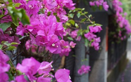 Preview wallpaper Bougainvillea, purple flowers, fence, bokeh