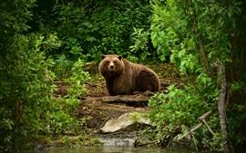 Marrom, urso, arbustos, rio