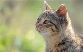 Fotografia do gato, cabeça, olhos