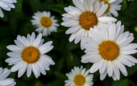 Manzanilla, flores blancas, gotas de agua