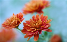 Preview wallpaper Chrysanthemums close-up, orange flowers