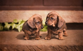 Preview wallpaper Cute dachshund, puppies