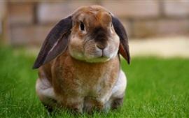 Bonito, coelho, sentando, capim