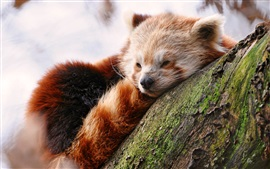 Preview wallpaper Cute red panda sleep in tree