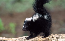 Cute skunk close-up