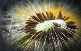 Preview wallpaper Dandelion macro photography