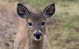 Cervos, frente, vista, orelhas, olhar