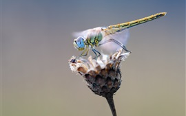 Preview wallpaper Dragonfly and dry flower