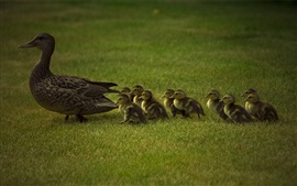 Ducks family, ducklings, grass