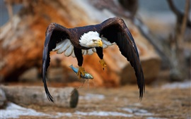Preview wallpaper Eagle catch a fish