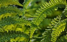 Fern folhas após a chuva, a natureza verde