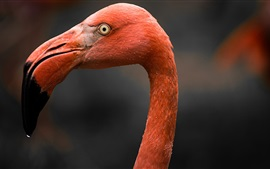 Close-up, cabeça, flamingo