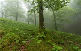 Preview wallpaper Forest, trees, moss, fog