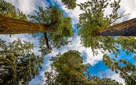 Forest, trees, sky, clouds, view from bottom