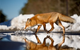 Fox andando na água