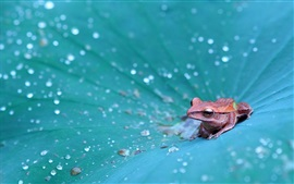 Preview wallpaper Frog on the lotus leaf, many water drops
