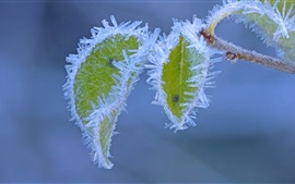 Frost, ice crystals, green leaves, winter