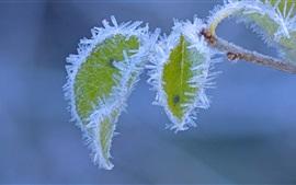 Escarcha, cristales de hielo, hojas verdes, invierno