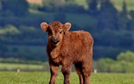 Furry cow, cub, brown