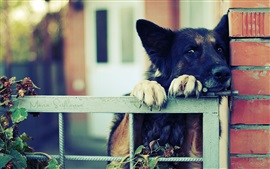 Preview wallpaper German shepherd, black dog, fence