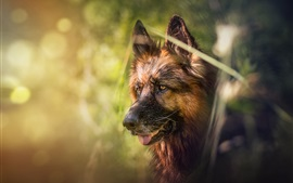 Preview wallpaper German shepherd, face, blurry