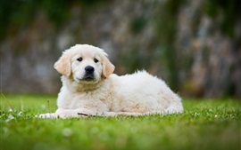 Preview wallpaper Golden Retriever, cute puppy, grass