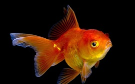Goldfish, close-up, pretas, fundo